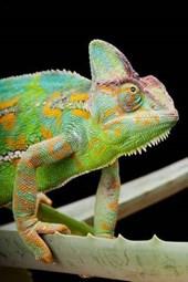 Yemen or Veiled Chameleon on a Cactus Leaf Journal