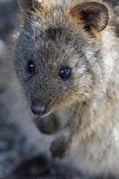 The Quokka Portrait Journal