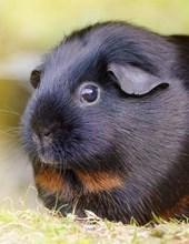 Jumbo Oversized Black Smooth Hair Guinea Pig