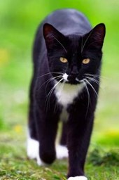 Beautiful Black and White Tuxedo Cat Journal