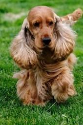 Beautiful English Cocker Spaniel Dog Journal