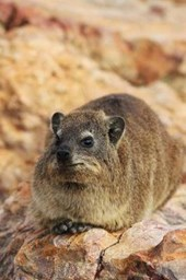 Rock Badger Hyrax in Serengeti Reserves Tansania Africa Journal