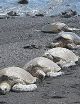 Jumbo Oversized a Row of Sea Turtles on the Beach | Unique Journal |