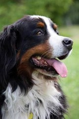 Bernese Mountain Dog Portrait Journal | Cool Image |