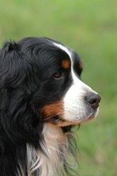 Bernese Mountain Dog Profile Journal