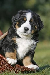 Bernese Mountain Dog Puppy Journal