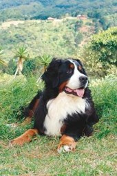 Bernese Mountain Dog Taking It Easy Journal