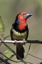 Black-Collared Barbet Bird Journal
