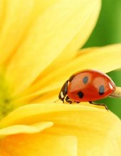 Jumbo Oversized Ladybug on a Brilliant Yellow Flower