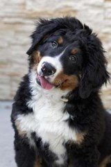 Curious Bernese Mountain Dog Journal | Cool Image |