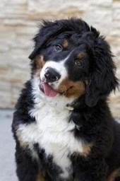 Curious Bernese Mountain Dog Journal