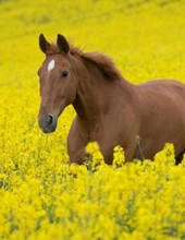 Jumbo Oversized Running Horse in the Colza Flower Field