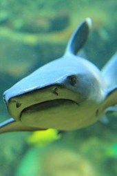 Blacktip Reef Shark (Archarhinus Melanopterus) Journal