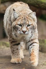 The Bobcat Approaches Journal | Cool Image |