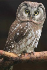 Boreal Owl Perched on a Branch Journal | Cool Image |