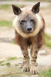 Brown Hyena Journal