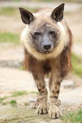 Brown Hyena Journal | Cool Image |