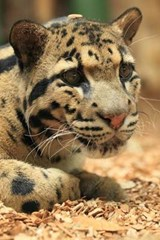 Clouded Leopard Portrait Journal | Cool Image |