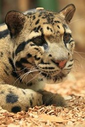 Clouded Leopard Portrait Journal