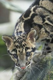 The Clouded Leopard Journal