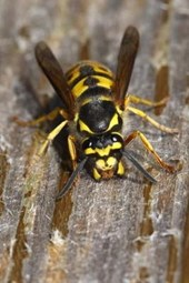 The Common Wasp Journal