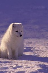A Beautiful Arctic Fox Sitting in the Snow
