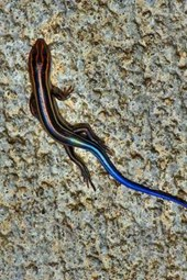 A Blue Tailed Skink