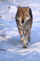 Gray Wolf in the Snow Journal | Cool Image |