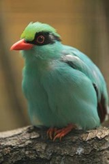Green Magpie Bird Journal | Cool Image |