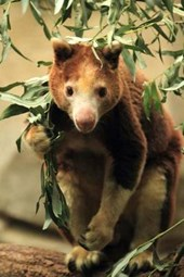 Huon Tree Kangaroo Journal