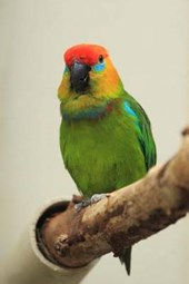 Large Fig Parrot Journal