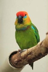 Large Fig Parrot Journal | Cool Image |