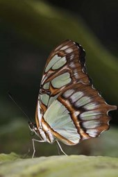 Malachite Butterfly (Siproeta Stelenes) Journal