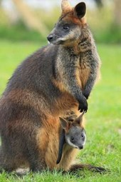 Swamp Wallaby with Joey Journal
