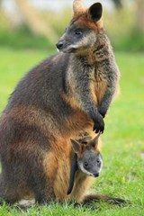 Swamp Wallaby with Joey Journal | Cool Image |