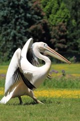 White Pelican Journal | Cool Image |