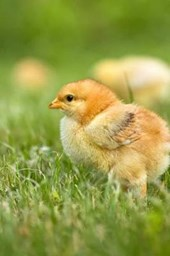 An Adorable Little Yellow Baby Chick in the Spring Grass Journal