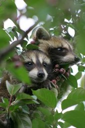 Two Cute Little Baby Raccoons Up in a Tree Journal