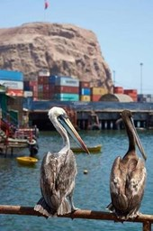 Two Peruvian Pelicans Pelecanus Thagus in Arica Chile South America Journal