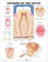 Anatomy of the Teeth Anatomical Chart | auteur onbekend |