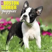 Just Boston Terrier Puppies 2018 Calendar