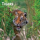 Tigers 2020 Square Wall Calendar | Inc Browntrout Publishers | 9781975409906